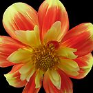 Red-yellow beauty by orko