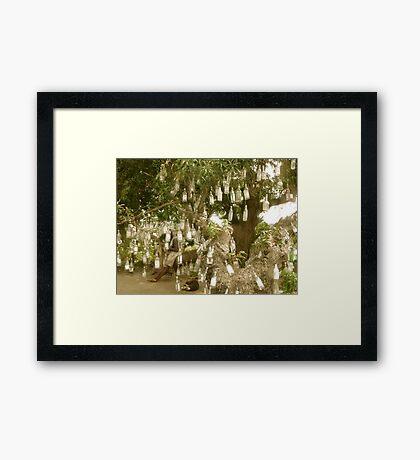 Bottle Tree - St. Kitts, Eastern Caribbean Framed Print