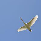 A Swan In Flight by Chris1249