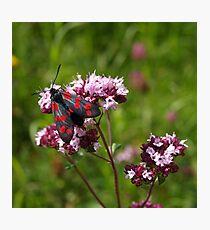 Black & Red (Six-spot Burnet). Photographic Print