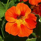 Vibrant Orange Nasturtium. by Lee d'Entremont