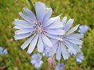 Chicory Wildflower - Cichorium intybus L.  by MotherNature