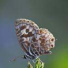 Little Butterfly by Sea-Change