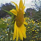 Sunflower garden by karenkirkham