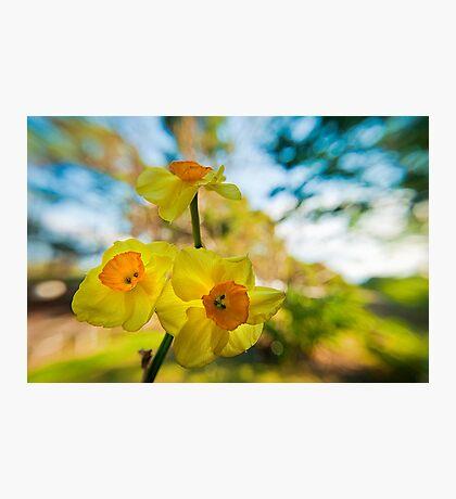 Jonquils in the garden Photographic Print