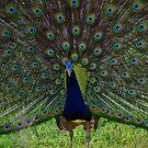Peacock - During a mating display by Biren Brahmbhatt