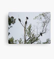 Turkey Vulture - Cathartes aura Canvas Print