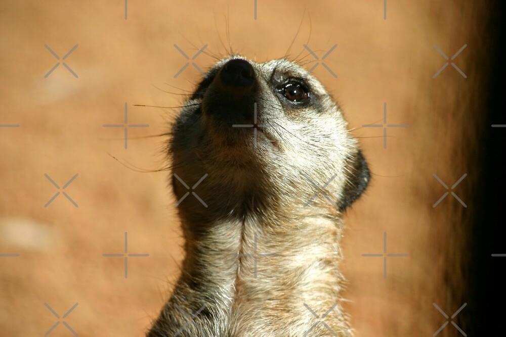 What's up Meerkat? by eidann