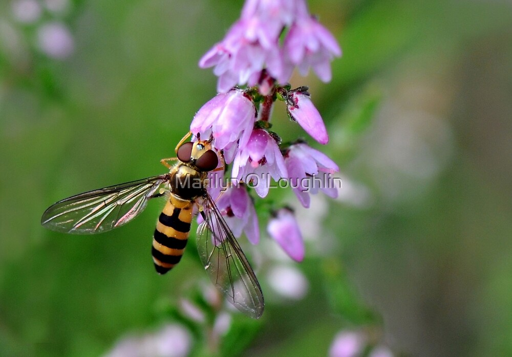 Hoverfly on Heather by Marilyn O'Loughlin