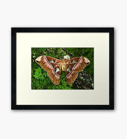 Giant Silk Moth (Rothschildia aurota speculifera) - Bolivia Framed Print