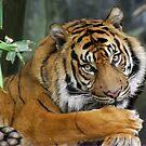 Sumatran Tiger by Aussiebluey