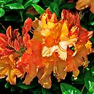 Mollis Azalea, Dunedin Botanical Garden, NZ. by johnrf