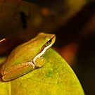 Gorgeous Green Frog by Sea-Change