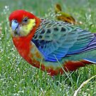 Western Rosella by Rick Playle