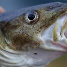 Tight lines my friends . The Atlantic cod, Gadus morhua -  portrait . Lofoten Island . Norway. 2011. by Brown Sugar . Views (151) favorited by (2) thank you so much friends ! by © Andrzej Goszcz,M.D. Ph.D