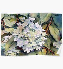 White Hydrangea Poster