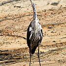Pacific Heron, Juvenile. (White Necked Heron) by Cindy McDonald