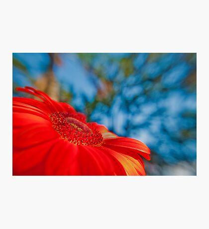 Red Gerbera in the gargen Photographic Print