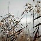 Reeds by Cazzz