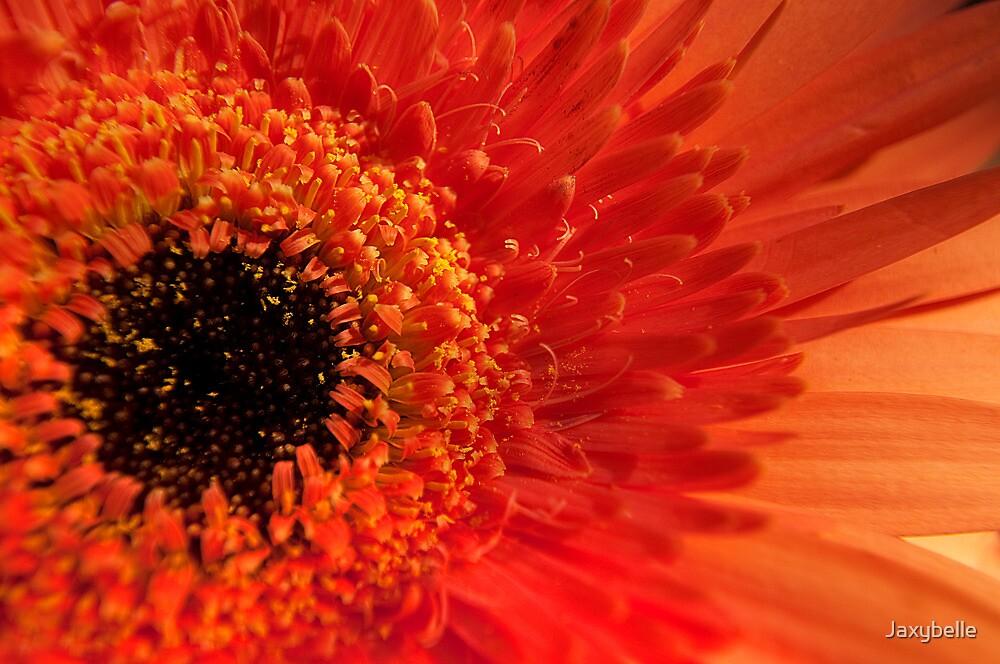 Orange Gerbera by Jaxybelle