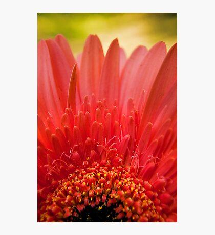Pink Gerbera in the garden Photographic Print
