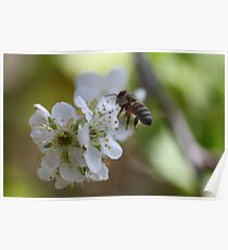 Plum Blossom Bee Poster