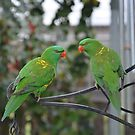 Musk Lorikeet by Michael Rowley