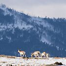 Ridge-line Pronghorn by Will Hore-Lacy