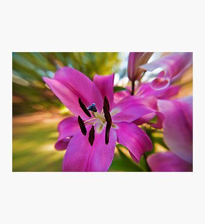 Pink Lilium in enjoying the start of spring Photographic Print