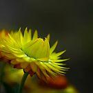 Mellow Yellow by Sea-Change