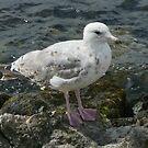 A Scottish Gull by BizziLizzy