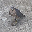 What's a Sparrowhawk Supposed to Do? by dilouise