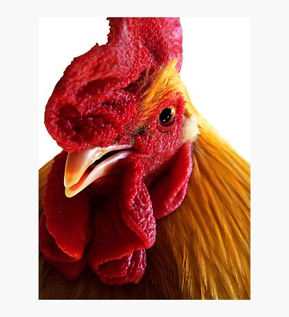 Rooster Doodle Doo  Photographic Print