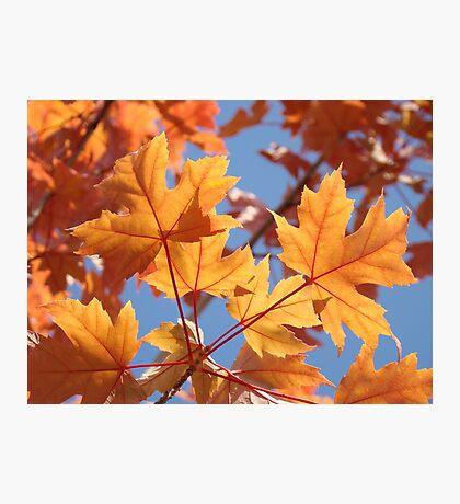 Autumn Leaves art prints Orange Glowing Leaf Blue Sky Baslee Photographic Print