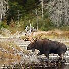 Bull moose - Algonquin Park by Jim Cumming