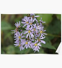 Smooth Aster Poster
