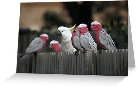 Galahs and Cockatoo by yolanda