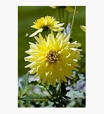 Yellow dahlia Photographic Print