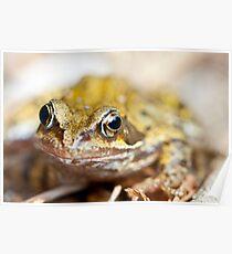 Rana temporaria - Common Garden Frog Poster