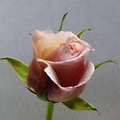 Pink Rose by Lynn Bolt