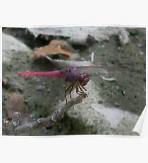 Roseate Skimmer - Dragonfly Poster