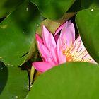 Nelumbium Nucifera Gaerth - Pink Lotus by Matsumoto