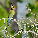 Rainbow Bee Eater by David Sundstrom