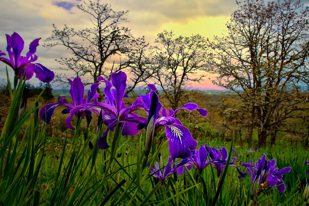 Wild Beauty ~ Wild Iris ~ by Charles & Patricia   Harkins ~ Picture Oregon