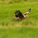 Swooping Red Kite by kernuak