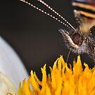 Small Tortoiseshell 3 (Aglais urticae) by Gareth Jones