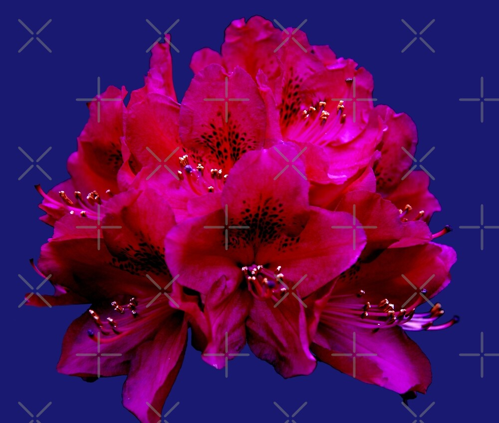 Rhododendron on phantom blue background by SiobhanFraser