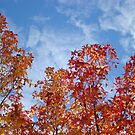 Autumn Trees art prints Blue Sky White Clouds Fall Leaves by BasleeArtPrints