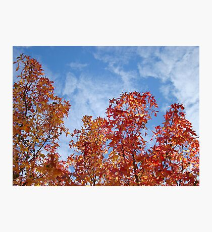 Autumn Trees art prints Blue Sky White Clouds Fall Leaves Photographic Print