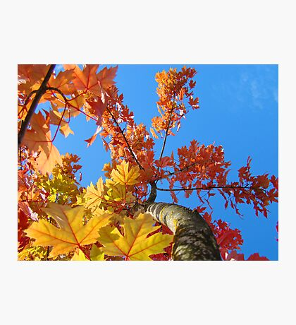 Fall Tree Looking Up Blue Sky Colorful Leaves art prints Photographic Print